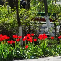 Шеренга красных тюльпанов... :: Тамара (st.tamara)