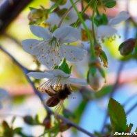 Пчёлка-трудяга... :: Любовь К.