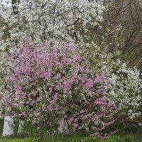 Опять цветут сады :: Игорь Сикорский