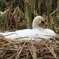 Моросящий дождик убаюкал лебедь-самку :: Маргарита Батырева