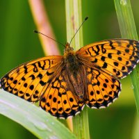 Бабочка :: Виктор Колмогоров