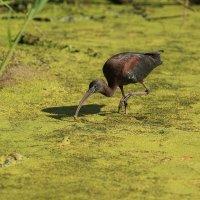 glossy ibis :: Naum