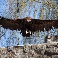 В неволе, но орел! :: Игорь Гарагуля