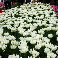 Крым. Никитский ботанический сад. Бал тюльпанов продолжается :: татьяна
