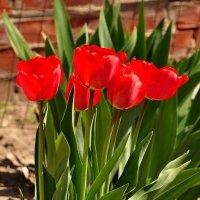 Советские тюльпаны :: Оксана Полякова