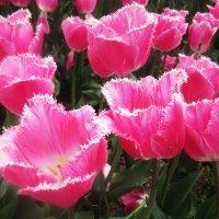 Необыкновенные тюльпаны :: татьяна