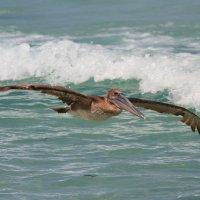 пеликан в поиске посадки :: Naum