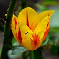 Тюльпан с мушкой :: Valentina M.