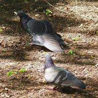 Танец голубя перед голубкой...) :: Любовь К.