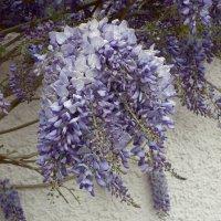 Макро цветов глицинии :: Natalia Harries