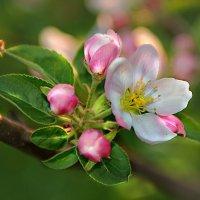 яблони цветут :: Lena