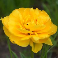 тюльпан гигантелла. :: Elenn S