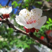 Весна цветущая :: Самохвалова Зинаида