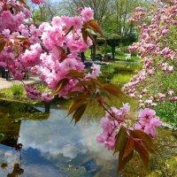 Весна в парке цветов (серия). О дружбе сакуры и магнолии :: Nina Yudicheva