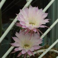 Кактусиха два цветка. :: Александр Владимирович Никитенко