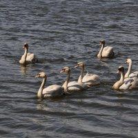 Лебеди на построении ...:) :: Анатолий Колосов