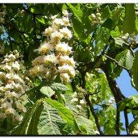 ... и  снова  цветут  каштаны ! :: Ivana