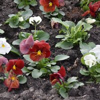 Первые цветы на улицах Санкт-Петербурга :: Валерий Подорожный