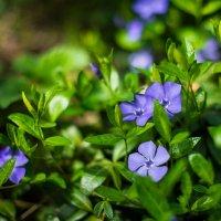 Весенние цветы :: Виктория Гавриленко