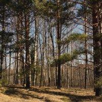 Весенний утренний лес :: Владимир Гилясев
