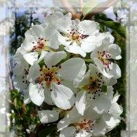 Цветы весны. :: Чария Зоя