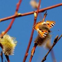 сбор первой мартовской пыльцы :: Александр Прокудин