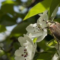 Майский жук на груше. :: Svetlana