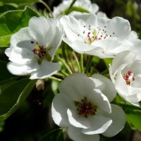 Цветы груши... :: Тамара (st.tamara)
