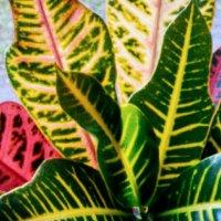 Краски природы, кротон :: Наталия Каминская