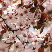 Цветение вишни :: Татьяна Баценкова