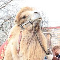 Гордый верблюд :: Дария Крылова