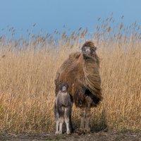 Верблюжонок с мамой, или семейный портрет. :: Фёдор. Лашков