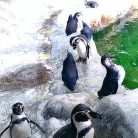 Весёлые пингвины :: Татьяна Тимофеева