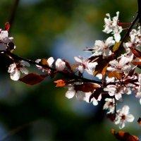 цветение садов 3 :: Александр Прокудин