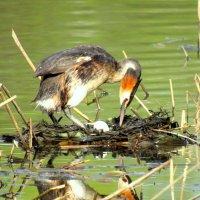 Чомга на гнезде переворачивает свои яйца. :: Вадим Синюхин