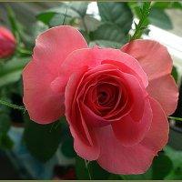 Розовый бутон :: Вера