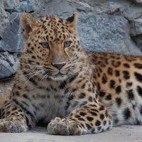 Дальневосточный леопард :: Владимир Габов