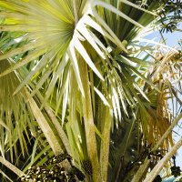 Пальмовый Виноград ..... :: Aleks Ben Israel