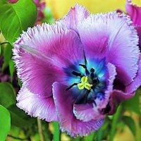 Сиреневый Тюльпан с голубыми глазками. :: Валентина ツ ღ✿ღ