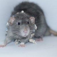 Крысенок :: Tatiana Neko