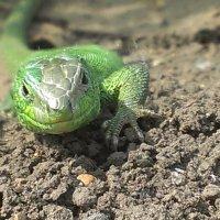 Любопытная ящерица :: Алексей Колодин