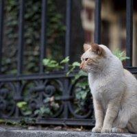 Невозмутимый рыжий кот. Позёр :: Наталья Шпичка