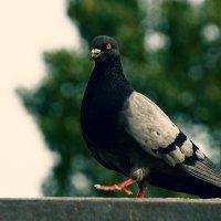 Типичный голубь :: Вадим Даурцев