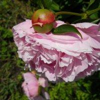 Муравей на цветке :: Lyudmila B