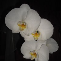Орхидея доритинопсис Афродита :: Ирина Приходько