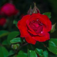 Роза - королева цветов :: Александр Сергеевич