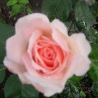 чайная роза :: Владимир Лагажан