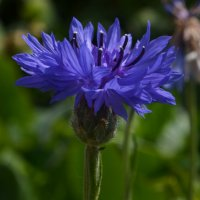 Фиолетовый цветочек :: Весёлый Енот