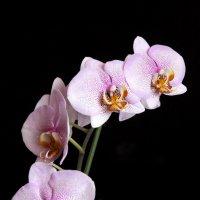 орхидея :: nakip1