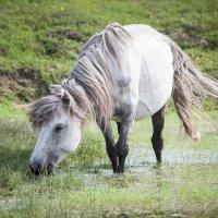 Якутская лошадка :: Анастасия Рыжикова